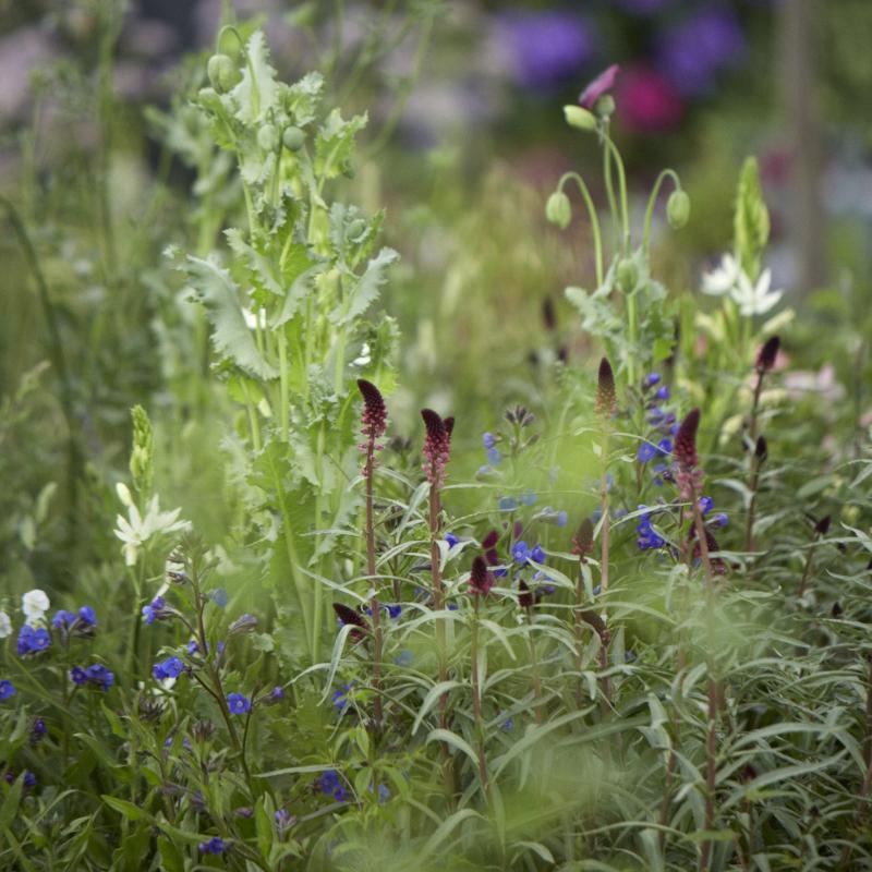 Colm Joseph RHS Chelsea perennial meadow planting garden design.jpg