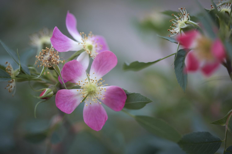 Colm Joseph RHS Chelsea rosa glauca wild rose garden design.jpg