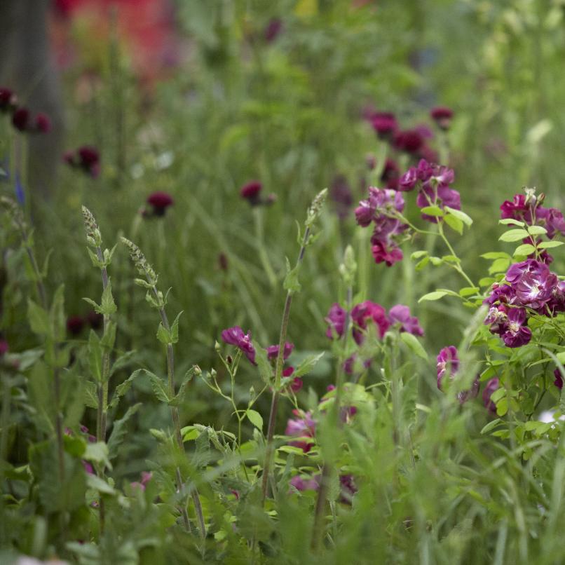 Colm Joseph RHS Chelsea rose meadow garden design.jpg