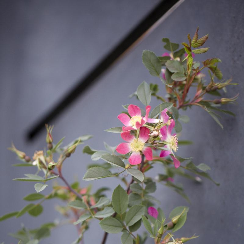 Colm Joseph RHS Chelsea rosa glauca steel screen garden design.jpg