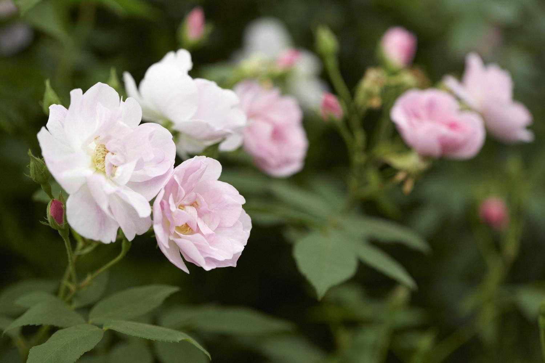 Colm Joseph RHS Chelsea rosa narrow water garden design.jpg
