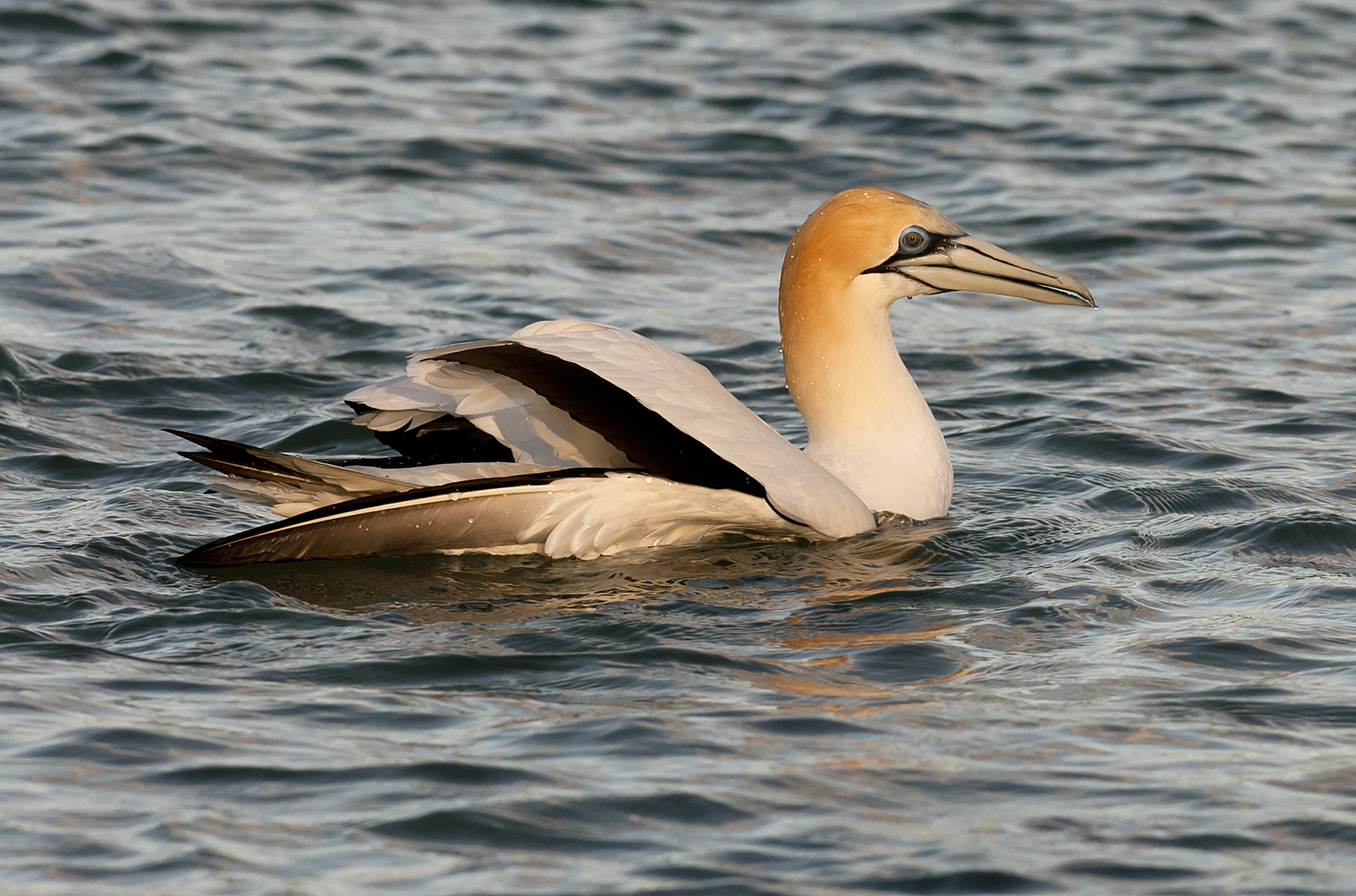 Australasian gannet. Adult on water after dive. Woolleys Bay, Northland, October 2012. Image © Malcolm Pullman by Malcolm Pullman www.pullmanpix.kiwi.nz