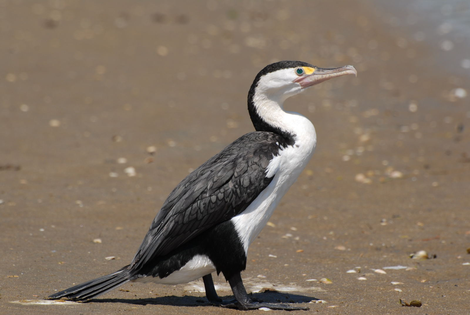 Pied shag. Adult. Northland, January 2008. Image © Peter Reese by Peter Reese