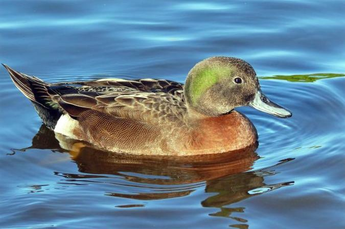 Brown teal. Male in breeding plumage. Waimanu Lagoons, Waikanae estuary, March 2006. Image © Roger Smith by Roger Smith
