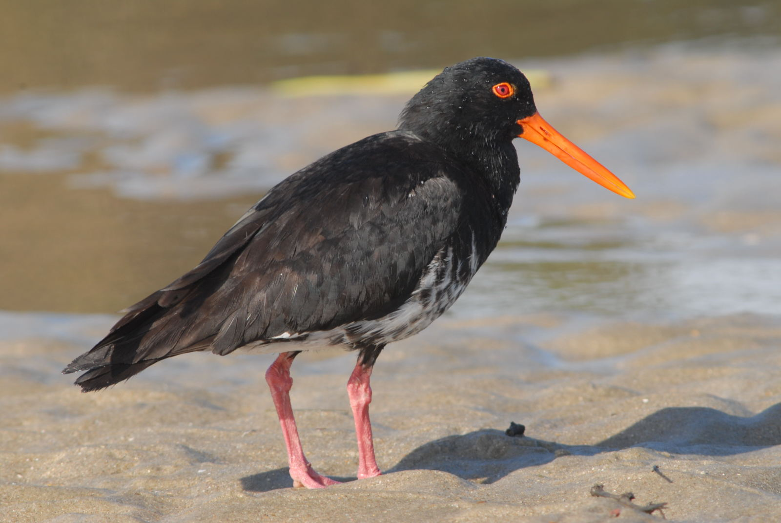 Variable oystercatcher. Intermediate morph adult. Northland, January 2008. Image © Peter Reese by Peter Reese