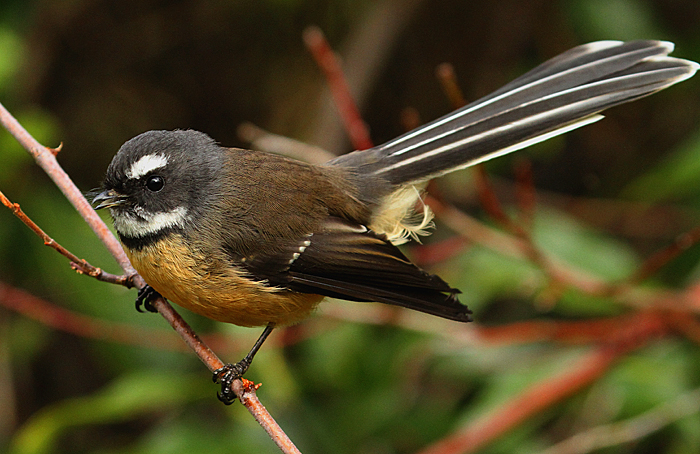 New Zealand fantail. North Island adult calling. Wanganui, May 2012. Image © Ormond Torr by Ormond Torr
