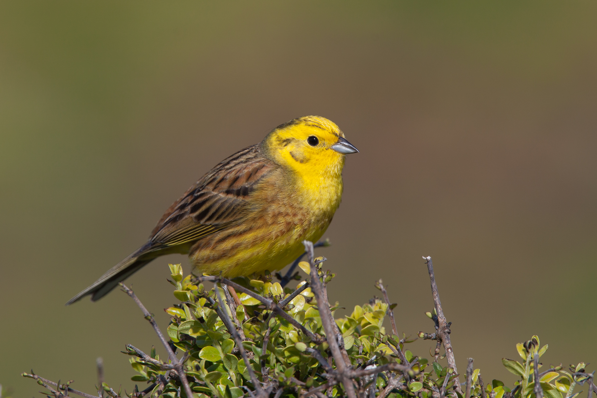 Yellowhammer. Adult male. Near Cape Foulwind, November 2011. Image © Sonja Ross by Sonja Ross
