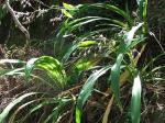 Arthropodium cirratum (Renga renga lilly)_small.jpg