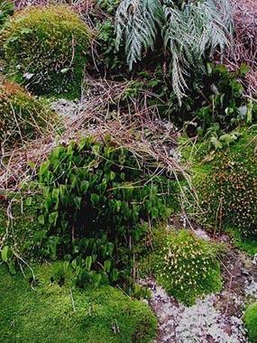 Ferns & mosses on boulder.jpg