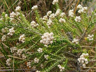 Ozothamnus leptophyllus.jpg