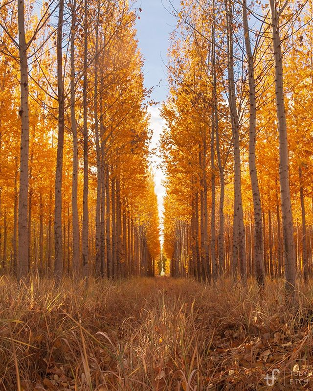 Yellow trees, straight rows Leaves falling with graceful twists — a visual splendor! . . . Oct 2018 ———— Taken this time last year, probably one of my favorite places ever for photographing landscapes, even though it was man-made (it's a tree farm). The trees don't exist anymore as they were cleared to make room for farms/crops.