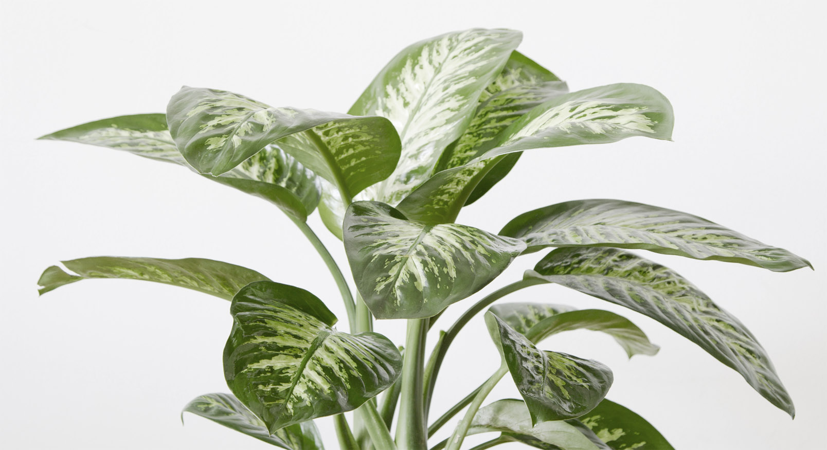 Introducing...The Dumb Cane Plant - Dieffenbarchia