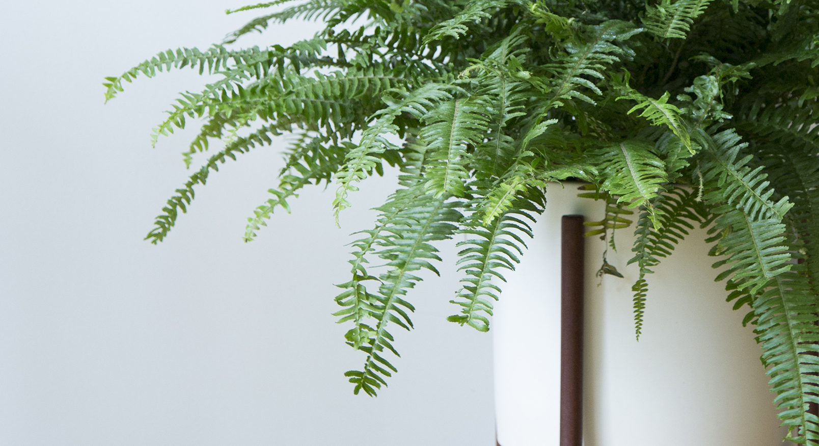 Introducing...The Boston Fern - Nephrolepis Exaltata