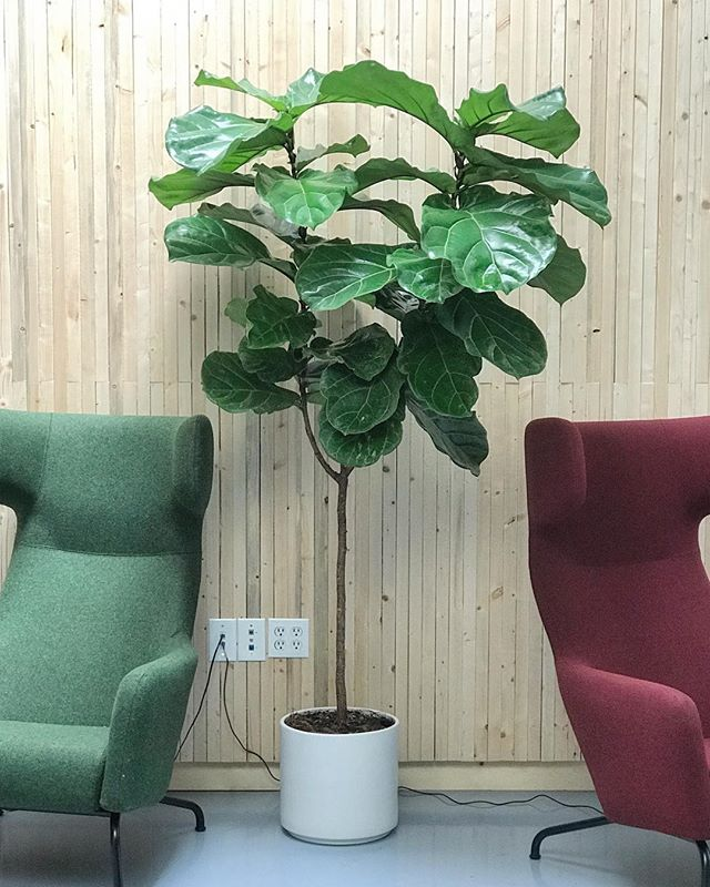 Another happy customer, great choice with the fiddle leaf fig tree, works so well in the space @whitehousepost if you'd like a potted plant delivered to your home or office head over to J+A link in bio 🍃
