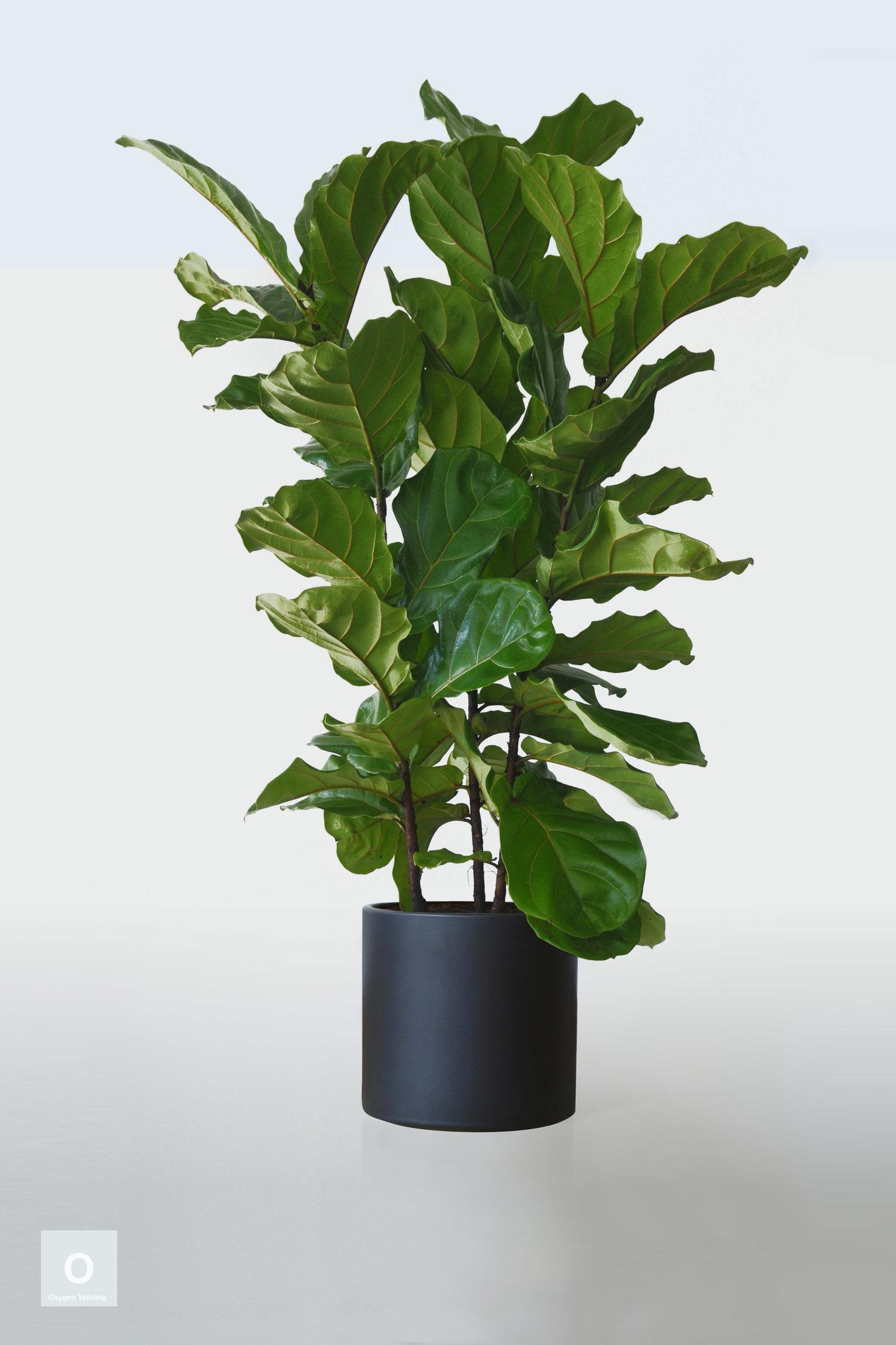Fiddle leaf Column   Ficus lyrata — Jack+Ando