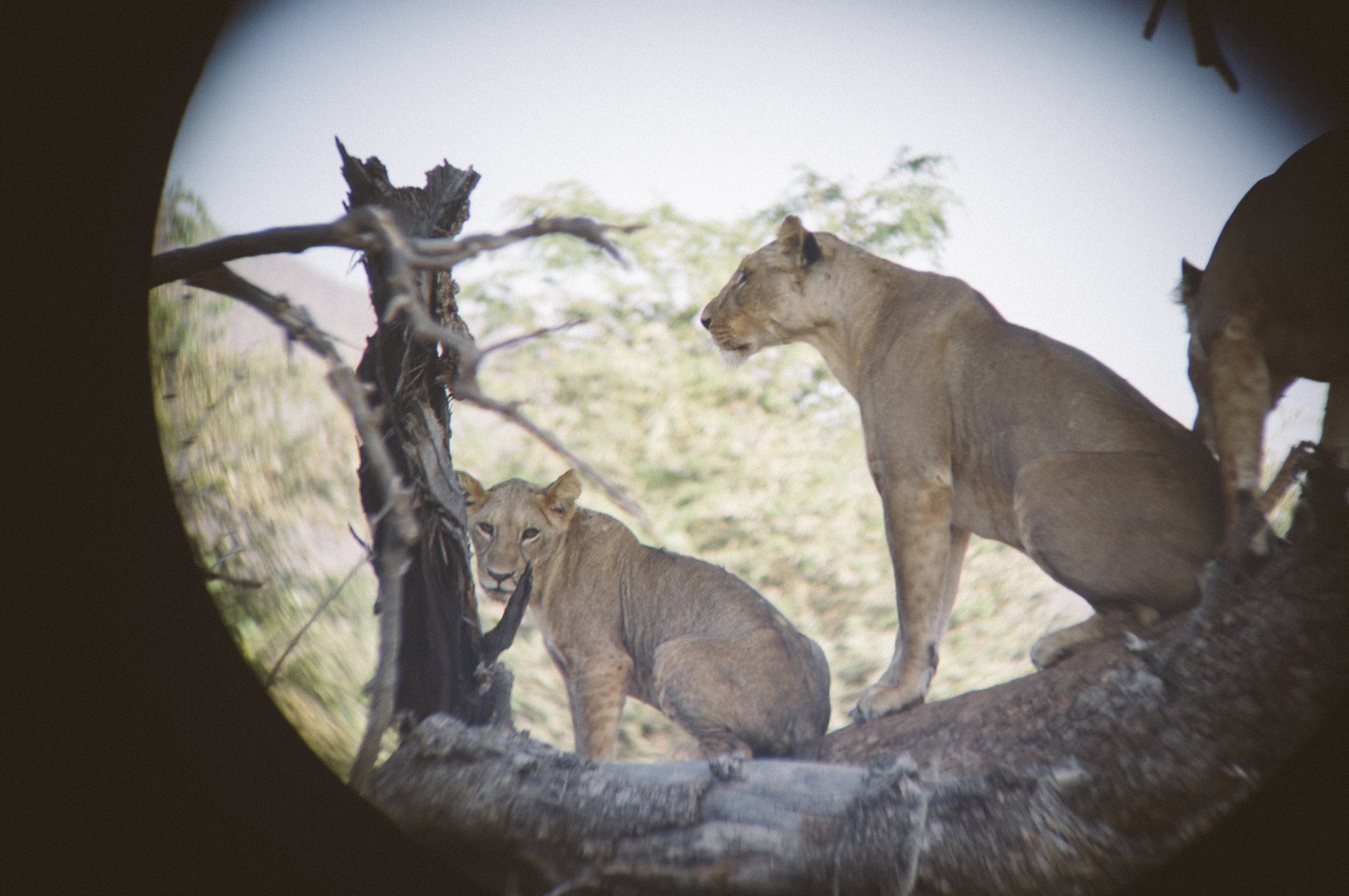 Lions in the scrub_5_through binoculars.jpg