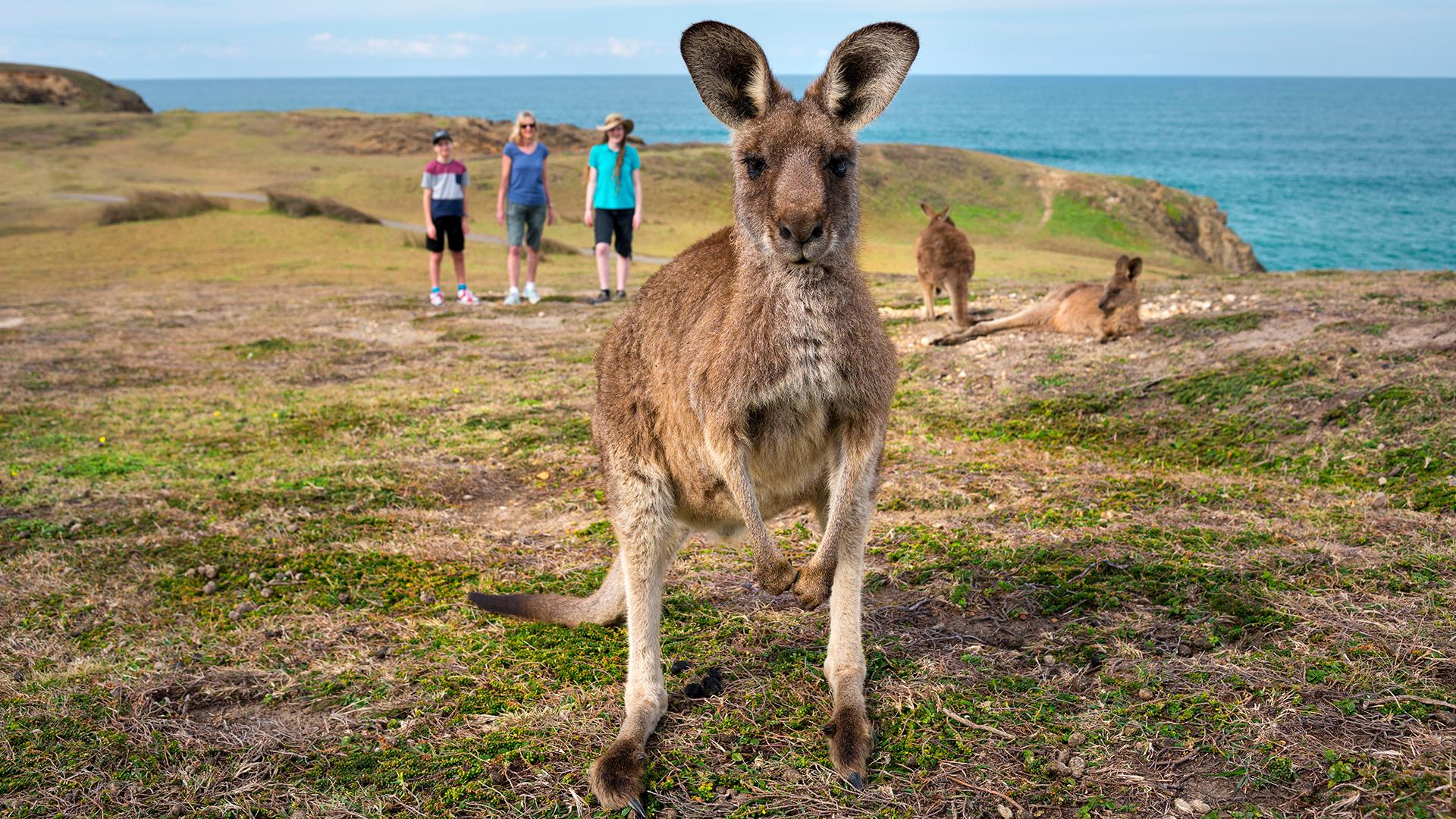 Kangaroos on the Coffs Coast