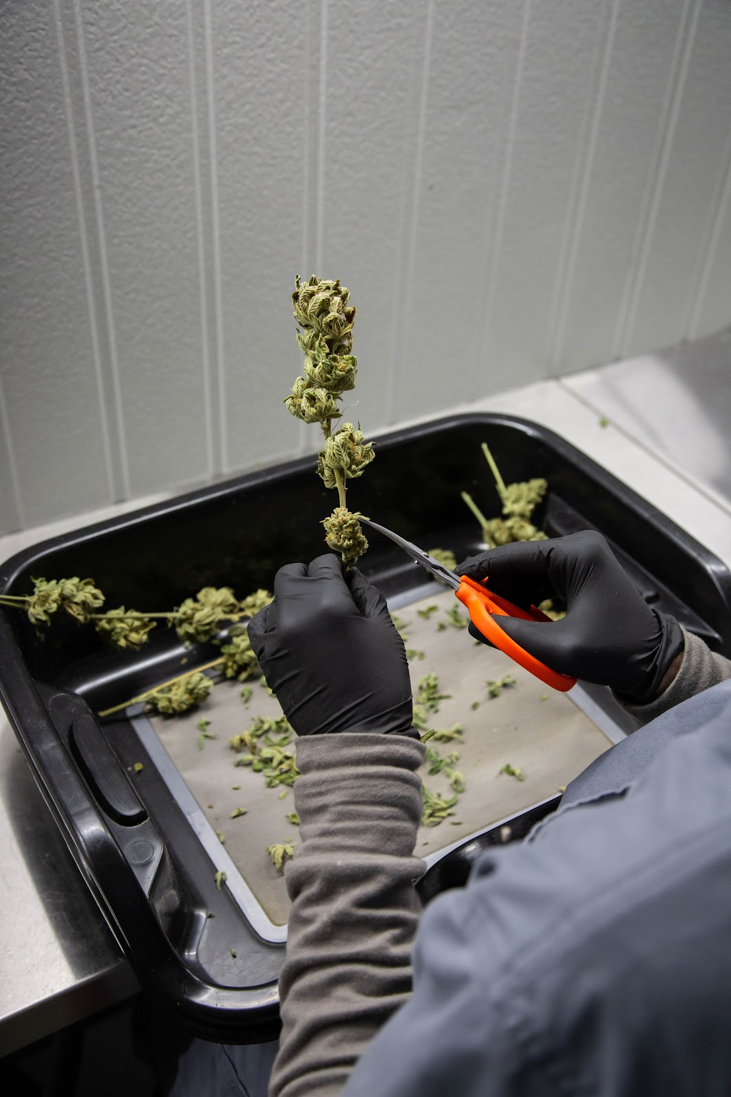 2019_02_06_HandTrimming_Cultivation_Flowering_Harmony_Dispensary_Cannabis_Marijuana_07.jpg