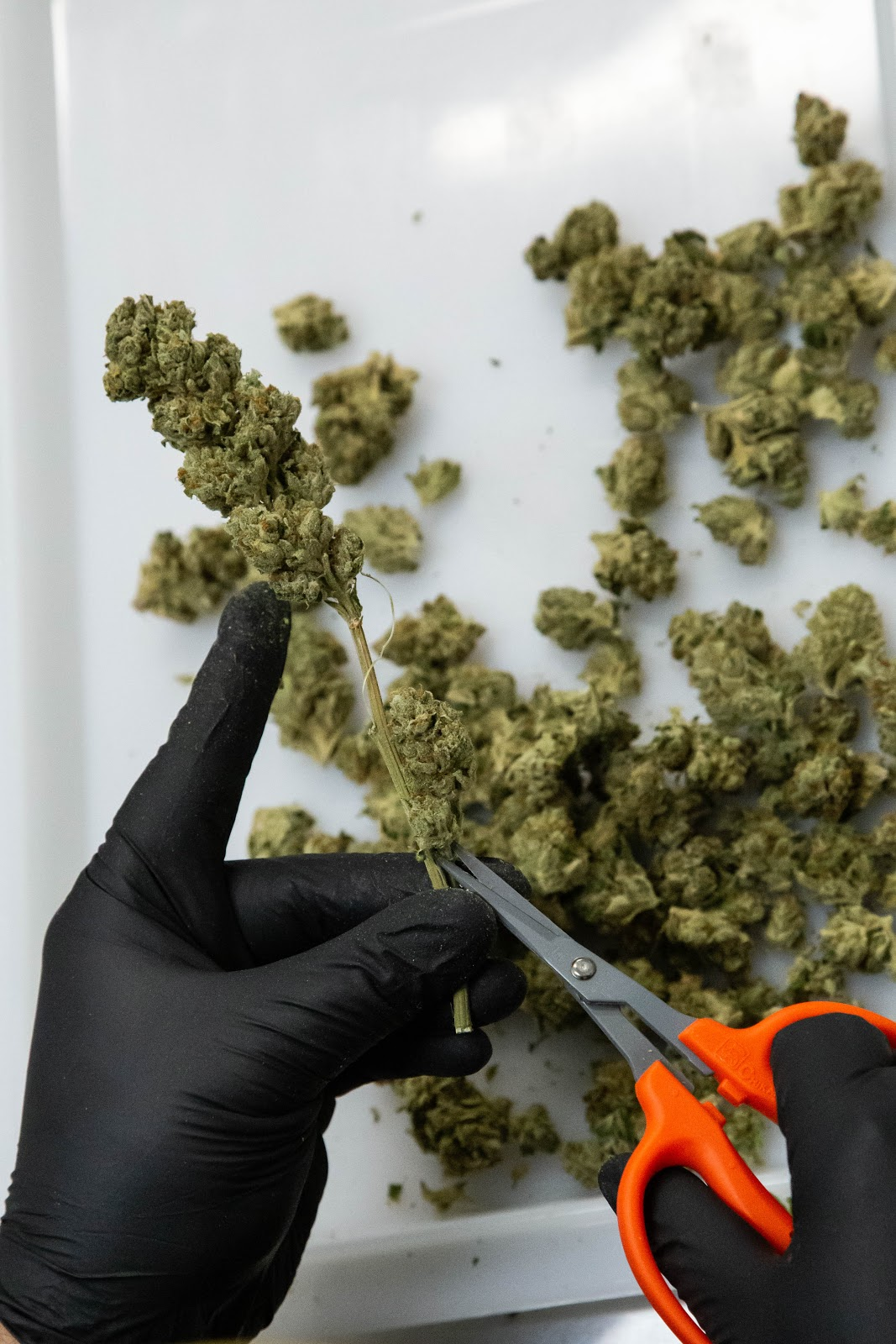 2019_02_06_Trimming_Stems_Cultivation_Flowering_Harmony_Dispensary_Cannabis_Marijuana_08.jpg