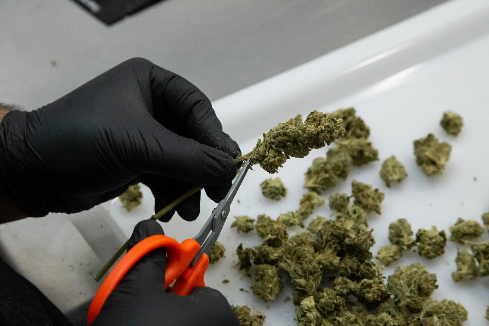 2019_02_06_Trimming_Stems_Cultivation_Flowering_Harmony_Dispensary_Cannabis_Marijuana_07.jpg