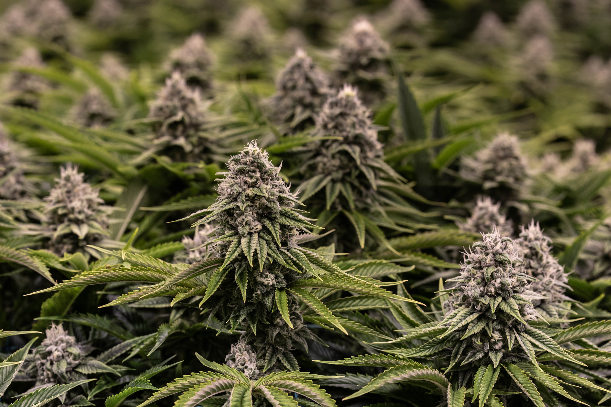 2019_02_19_ZURCULES_Cultivation_Flowering_Harmony_Dispensary_Cannabis_Marijuana_14.jpg