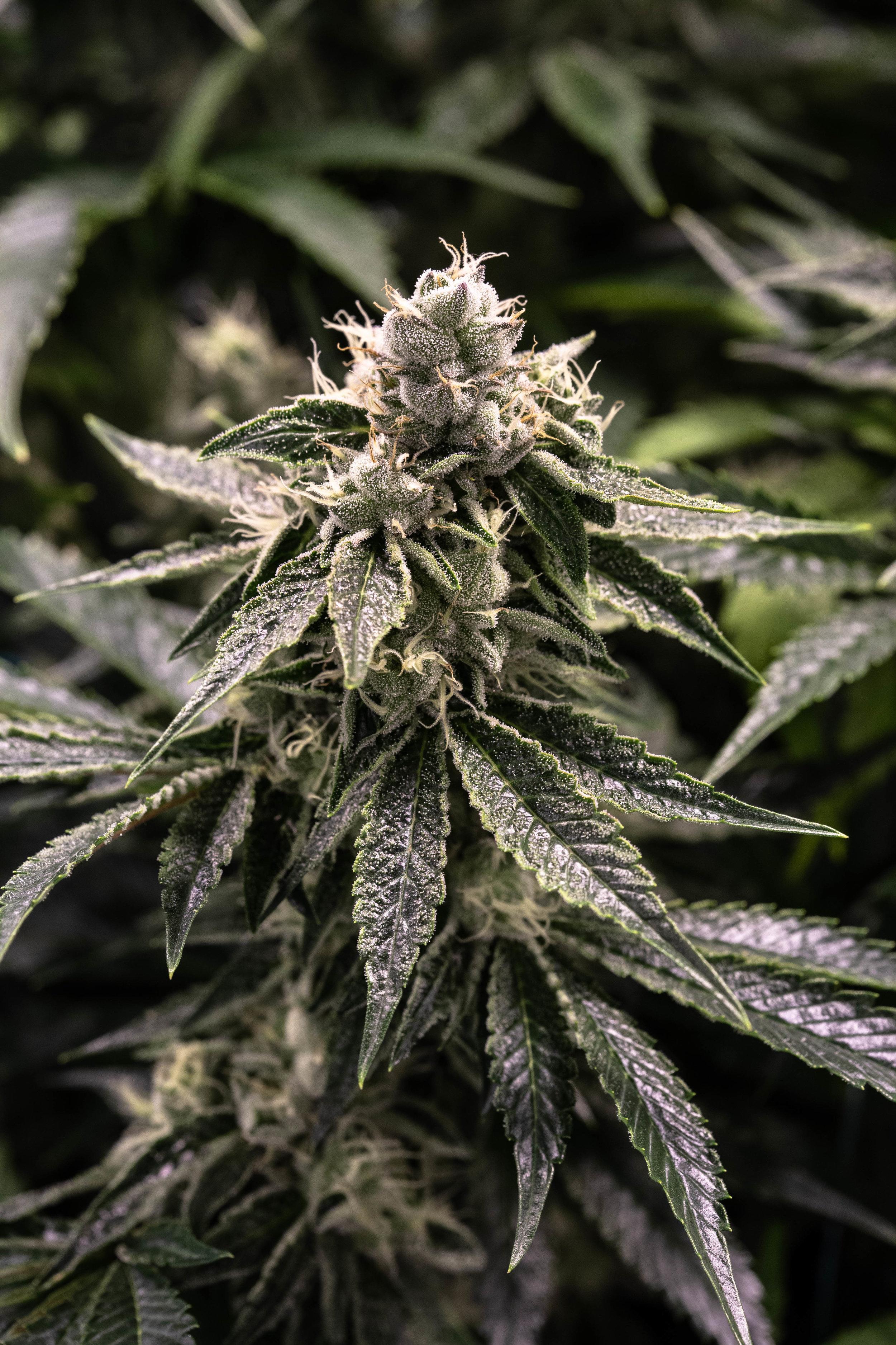 2019_03_29_TEGRIDY_OG_Plant_Cultivation_Flowering_Harmony_Dispensary_Cannabis_Marijuana_10.jpg