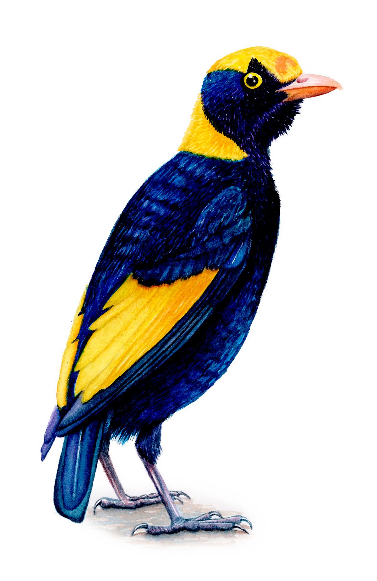 Satin Bower Bird.png