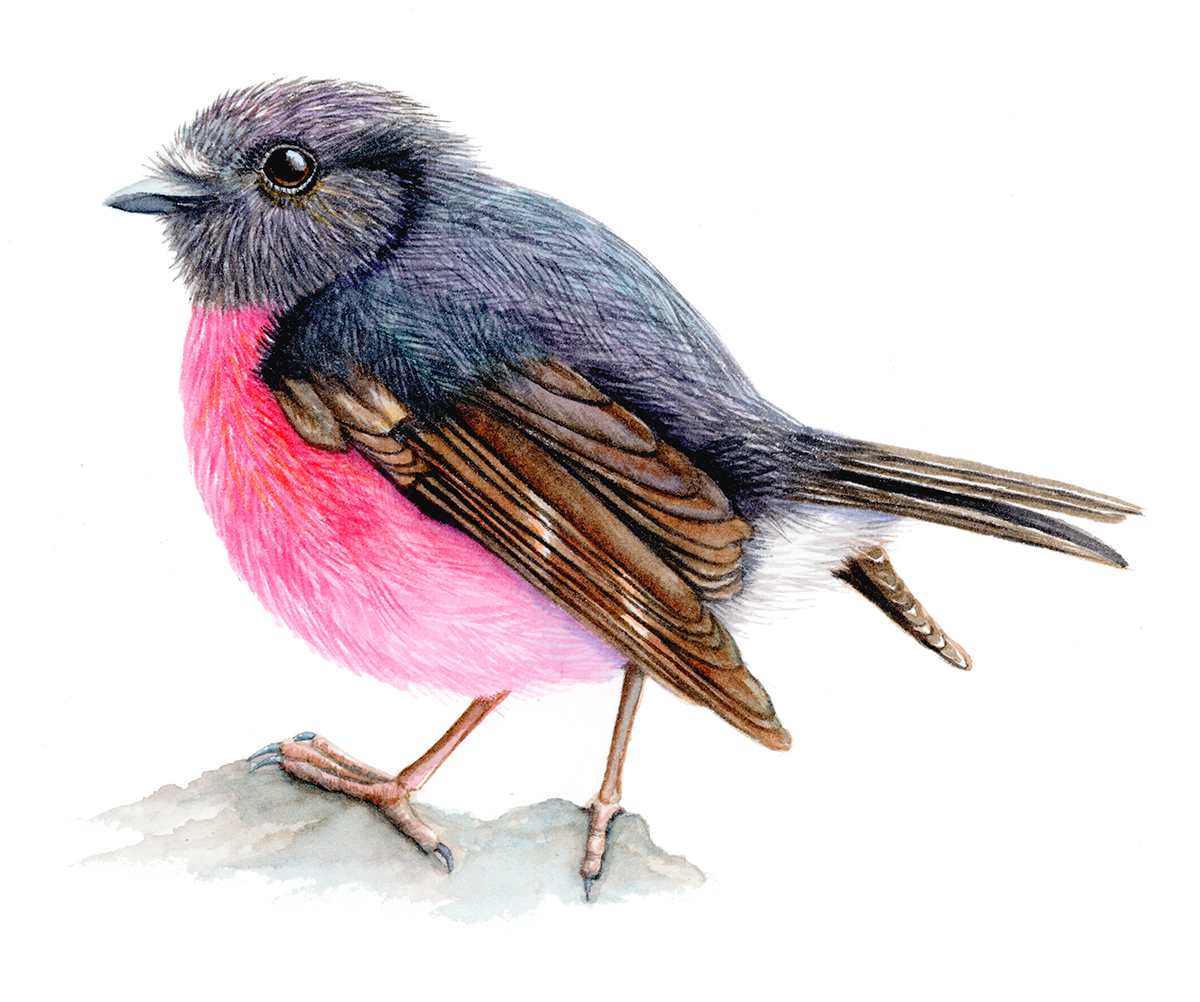 Pink Robin.png