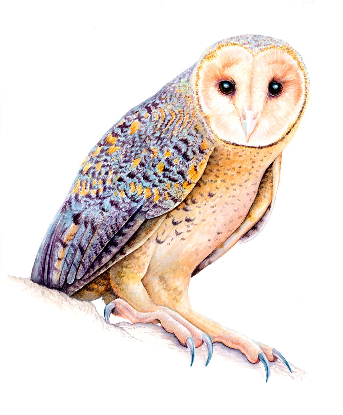 Australian Masked Owl.png