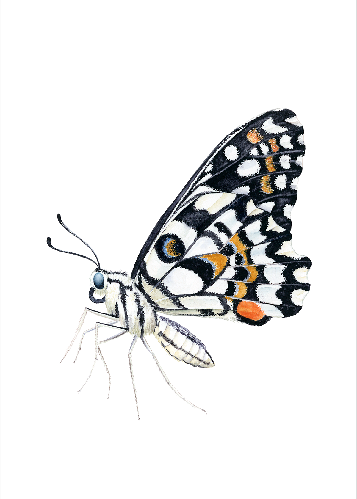 Common Lime Butterfly.png