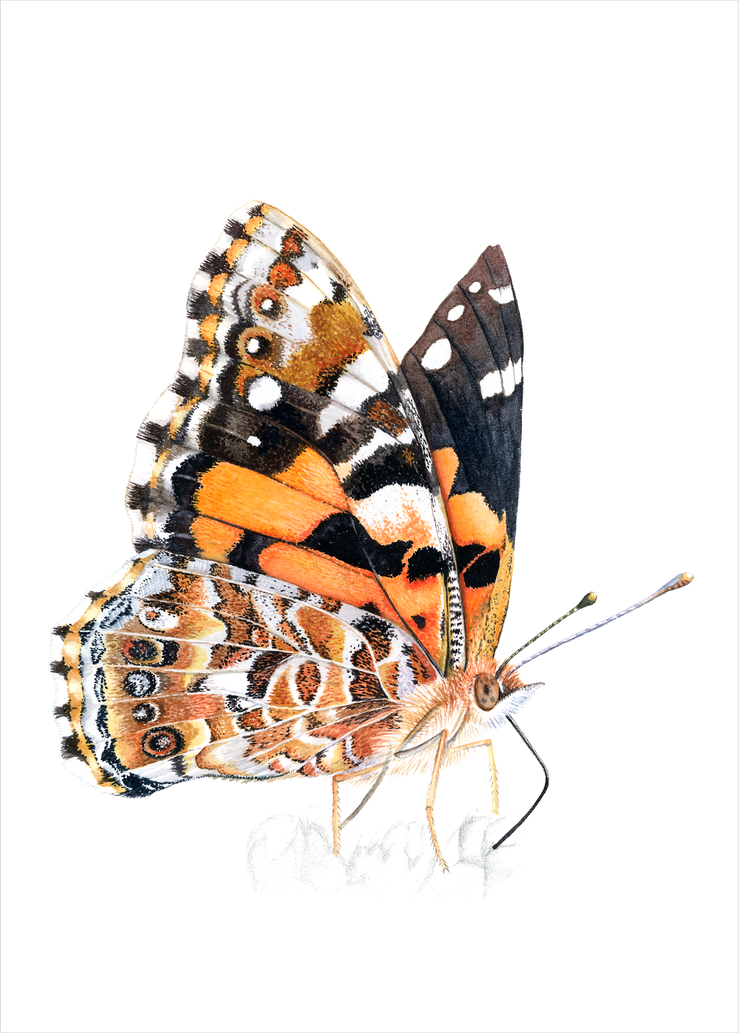 Painted Lady Butterfly.png