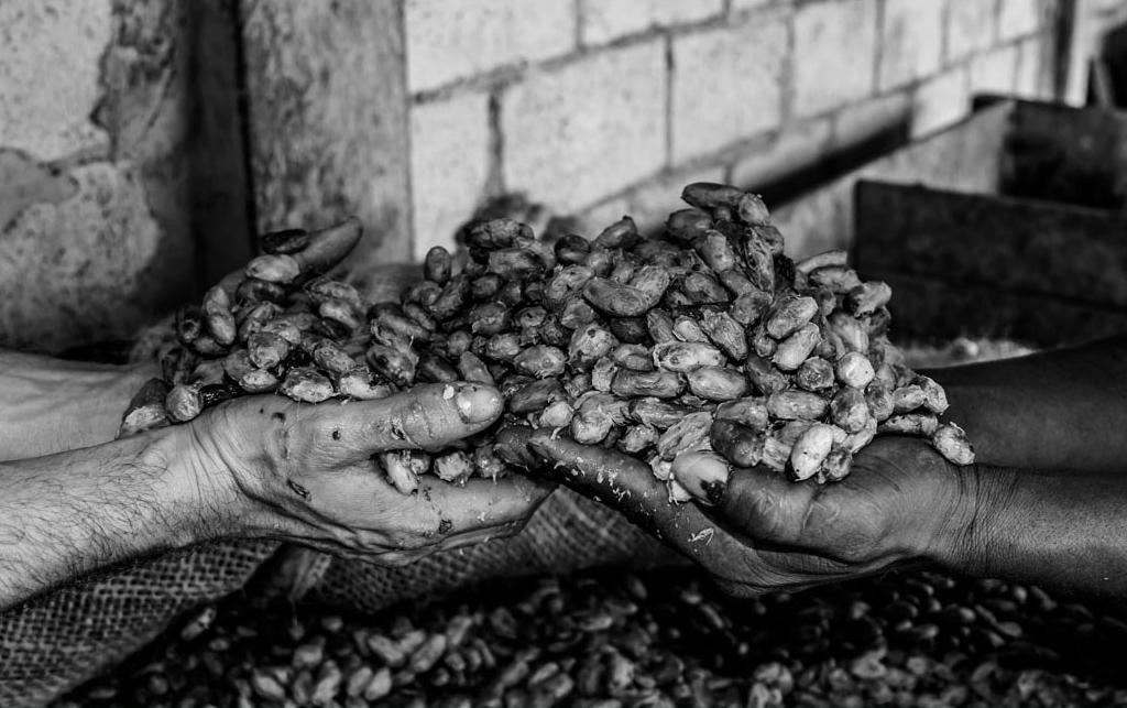 Manos de una comunidad que trabaja dedicando su vida entera a cultivar el mejor cacao del mundo. -