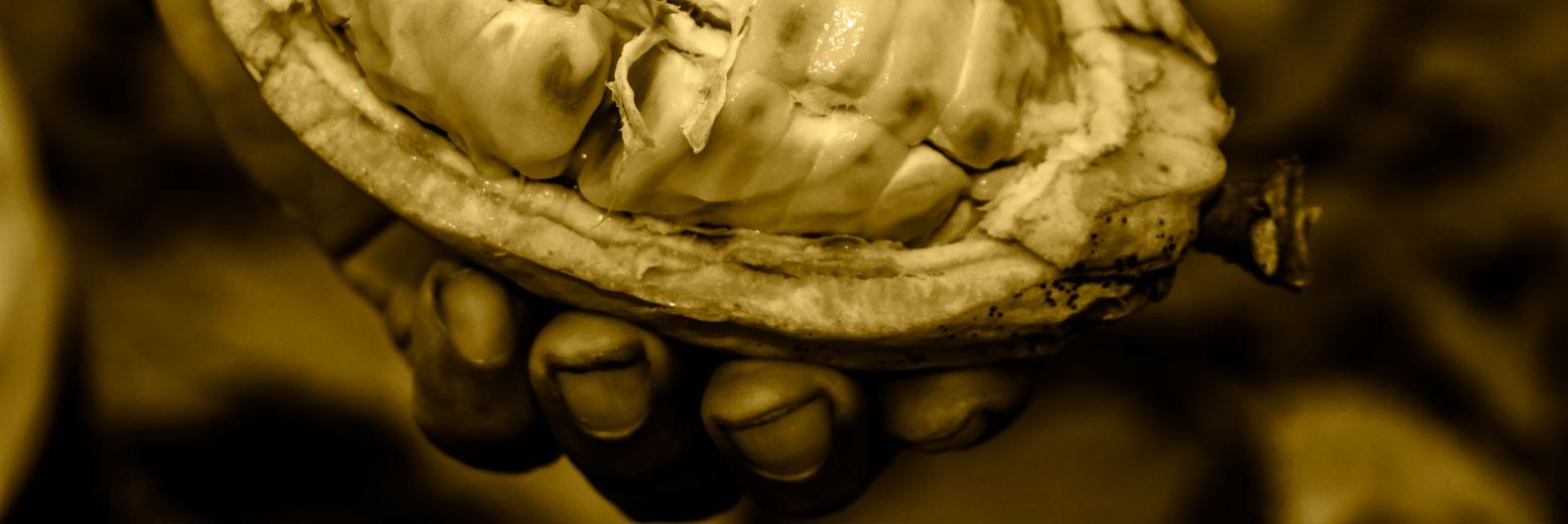 Cultivo Unipersonal de planta de cacao por parte del pequeño productor.Este proceso legendario se ha perfeccionado a través de décadas para no utilizar químicos.