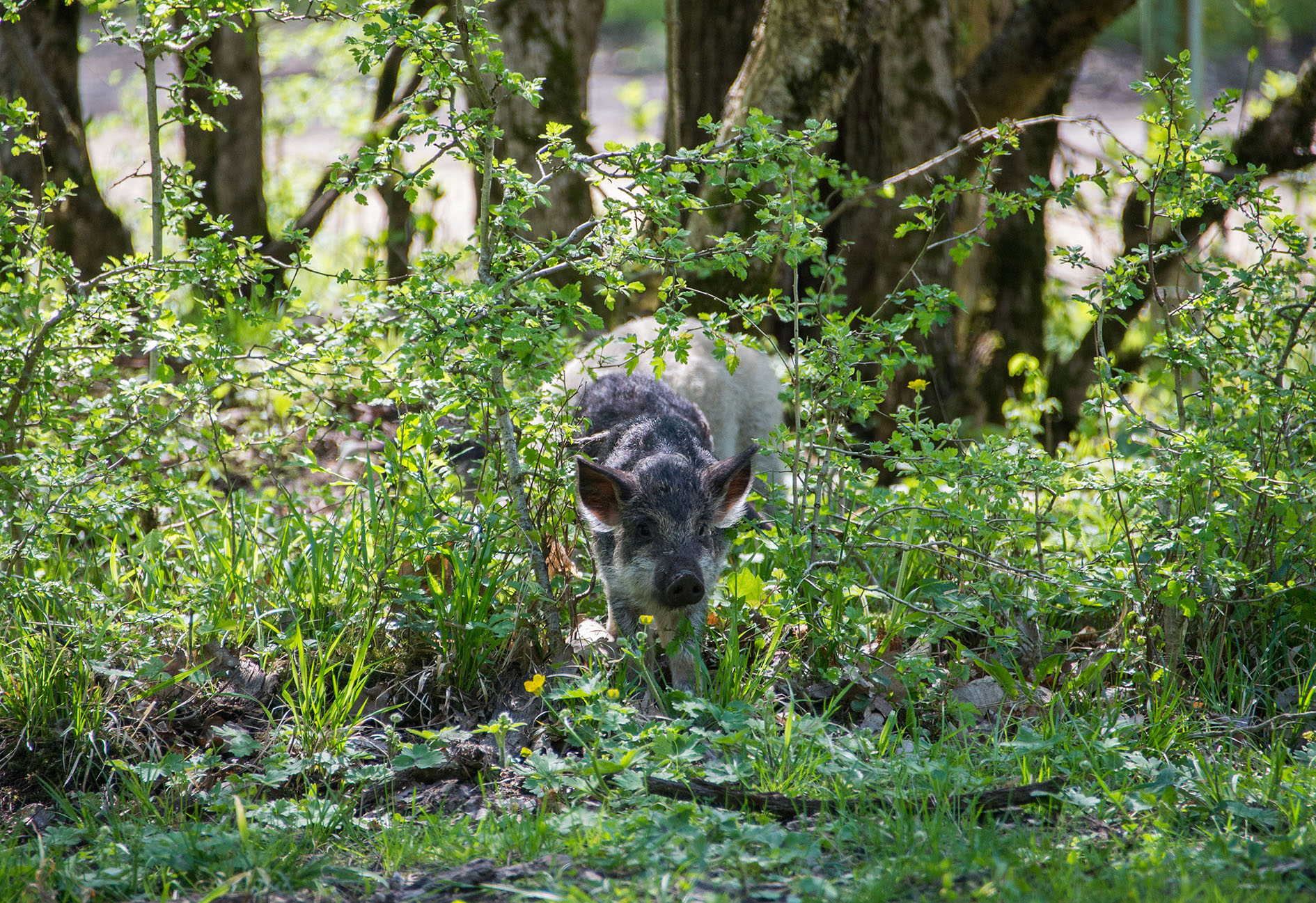 alderhill_piglet_oak woods.jpg