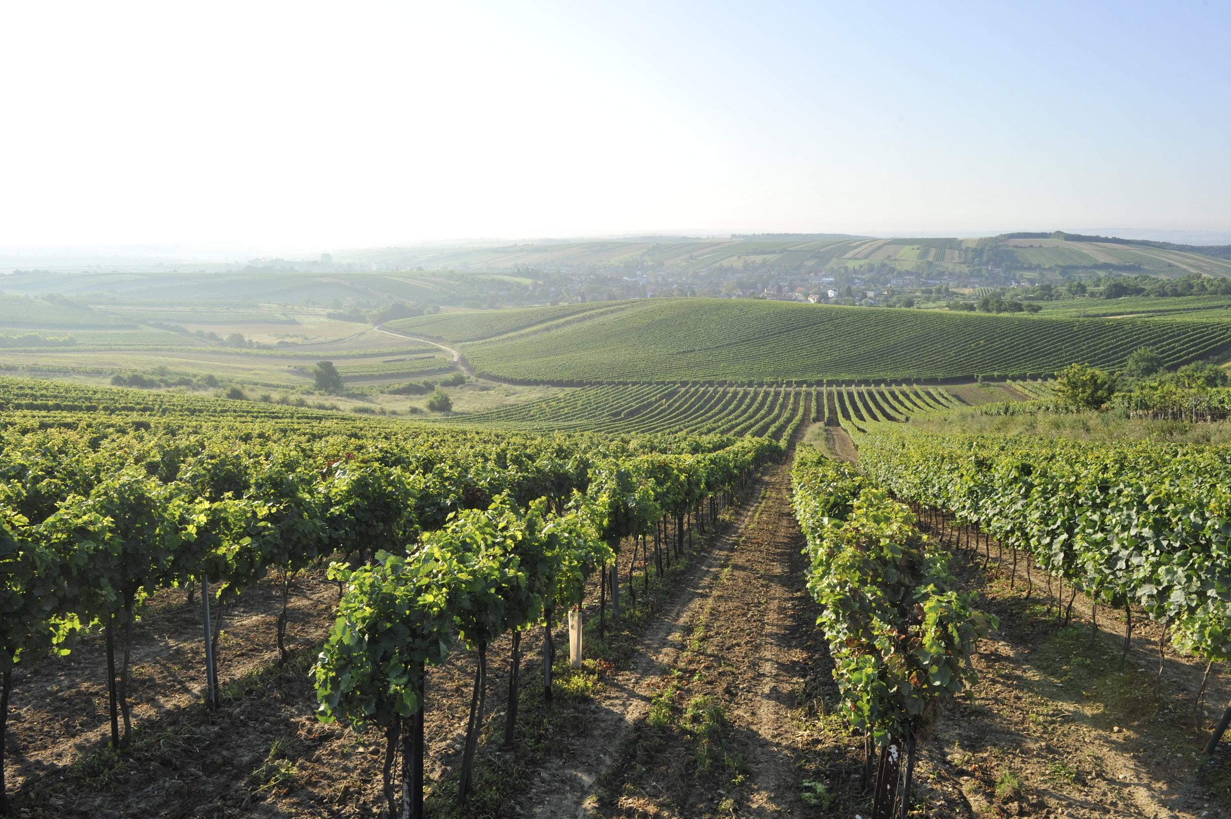 ....Weingärten mit Blick auf Herrnbaumgarten..vineyards around the village Herrnbaumgarten....
