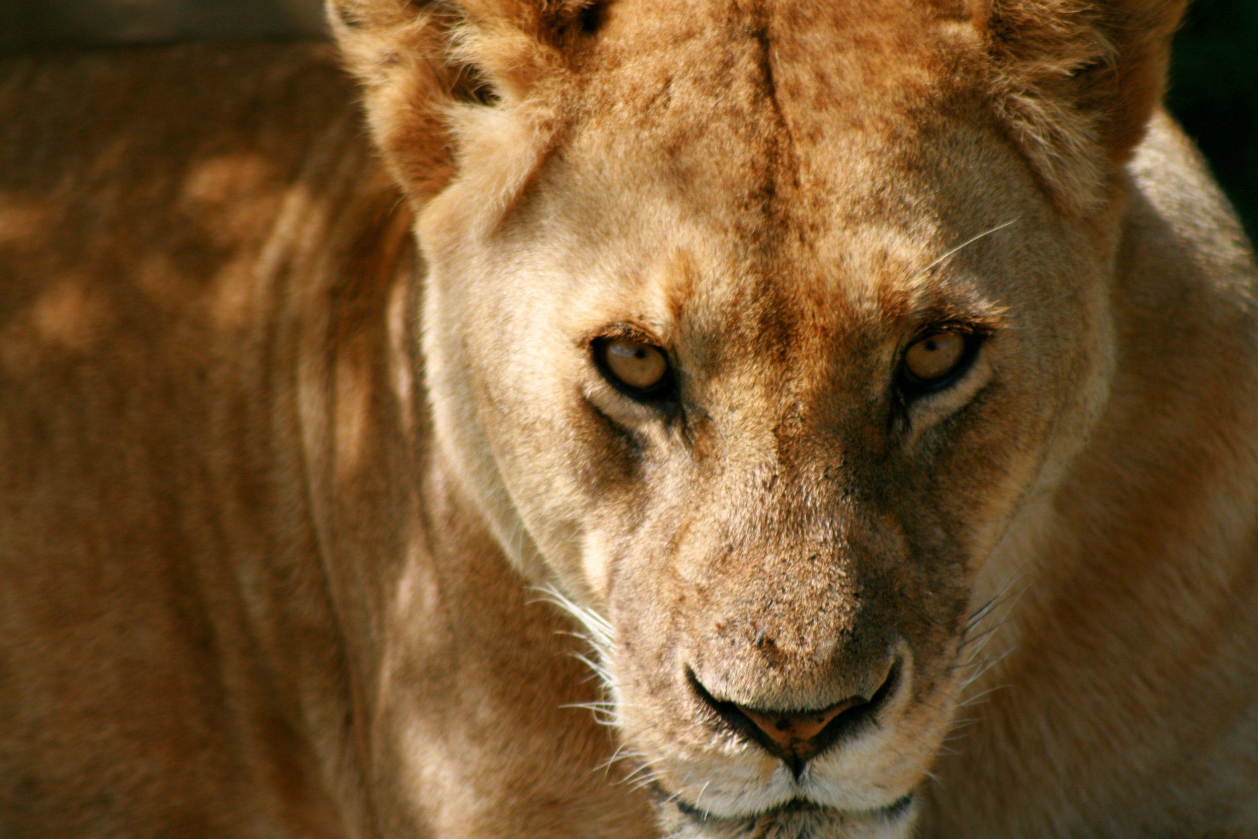 Lion-female.jpeg