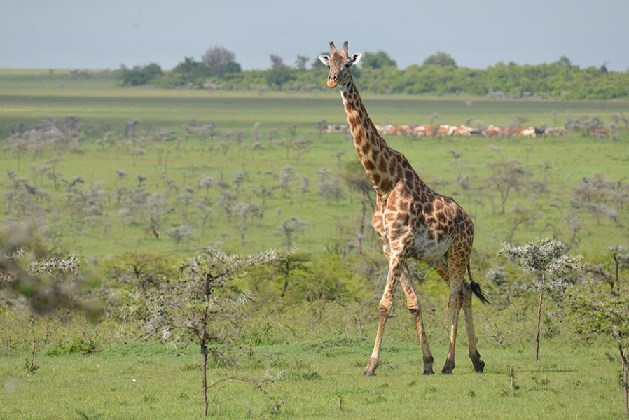 Maasai Mara Wildlife Conservancies Association (MMWCA) - KENYA | Protecting the Maasai Mara