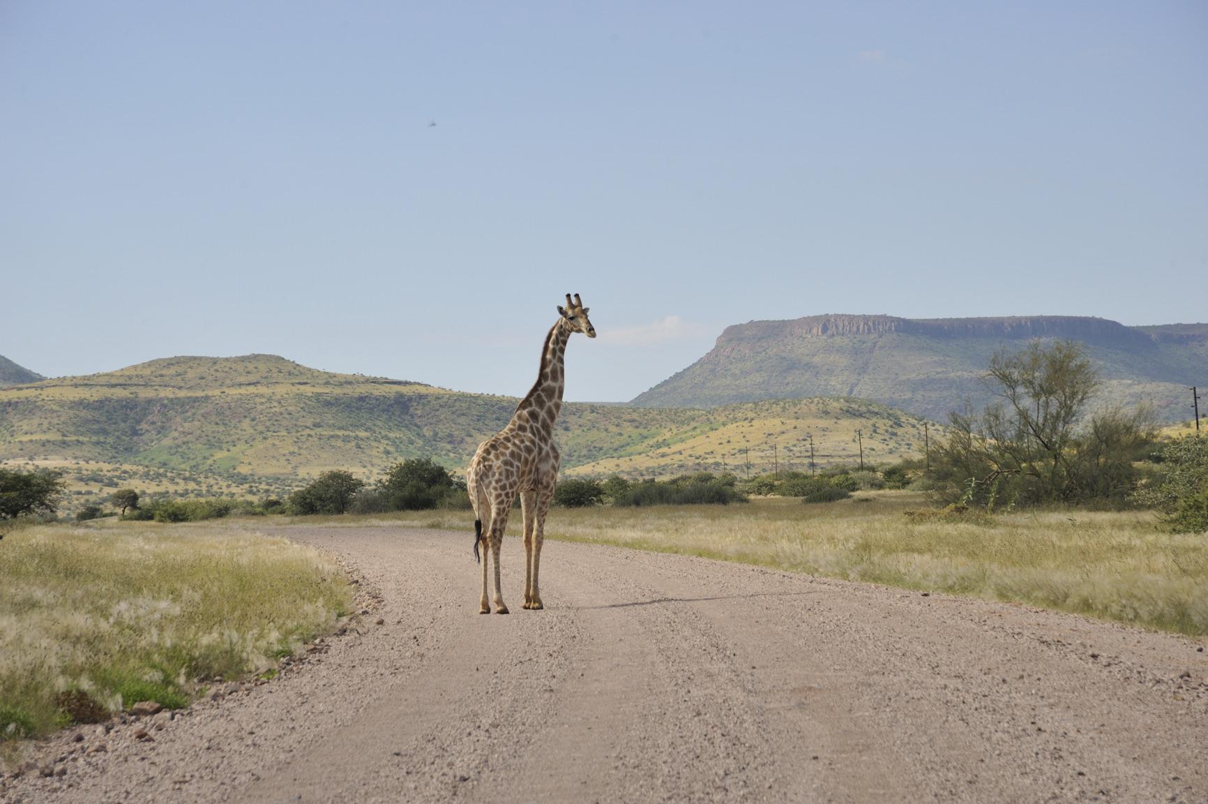 11.04 Torra Giraffe 005.jpg