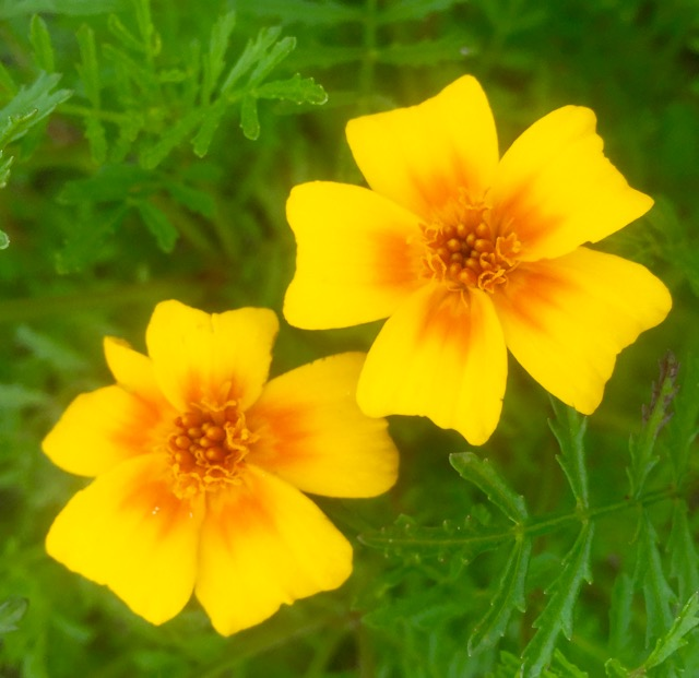 TAGETES (FRENCH MARIGOLD)  MIXED COLOURS
