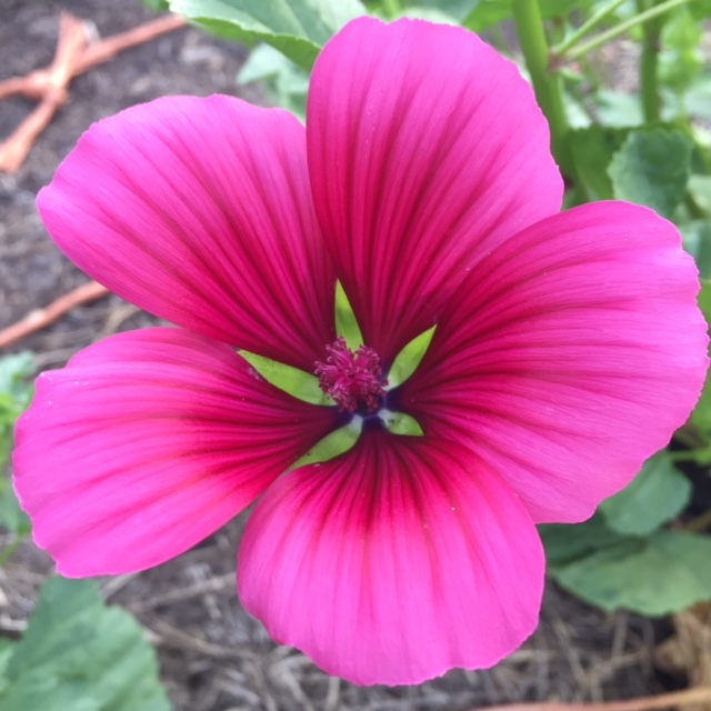 malope trifida, pink