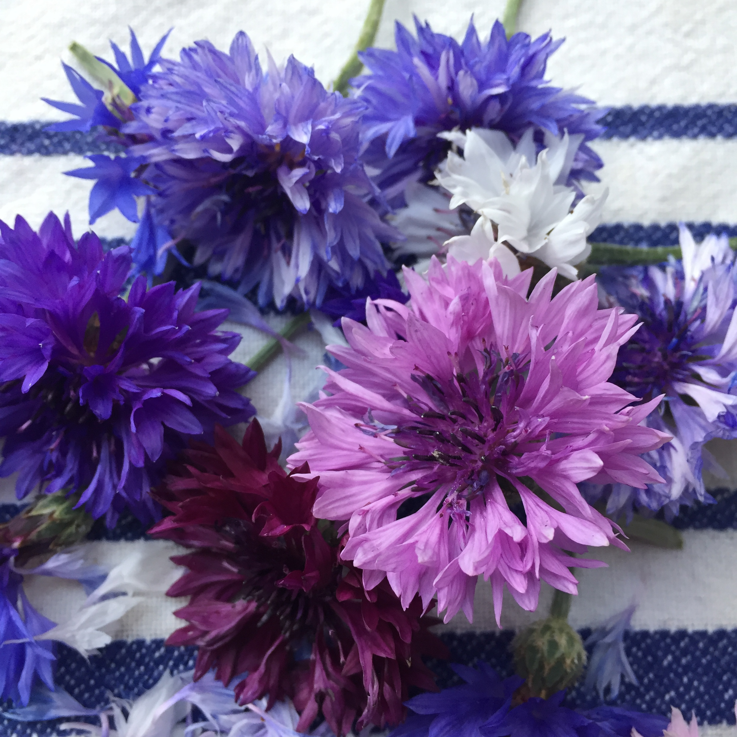REF:20  'centaurea cyanus'  bleuet (mixte), mixed cornflowers  flower petals can be scattered over salads, cakes. add a spicy tone to rice, pancakes or in summer drinks.