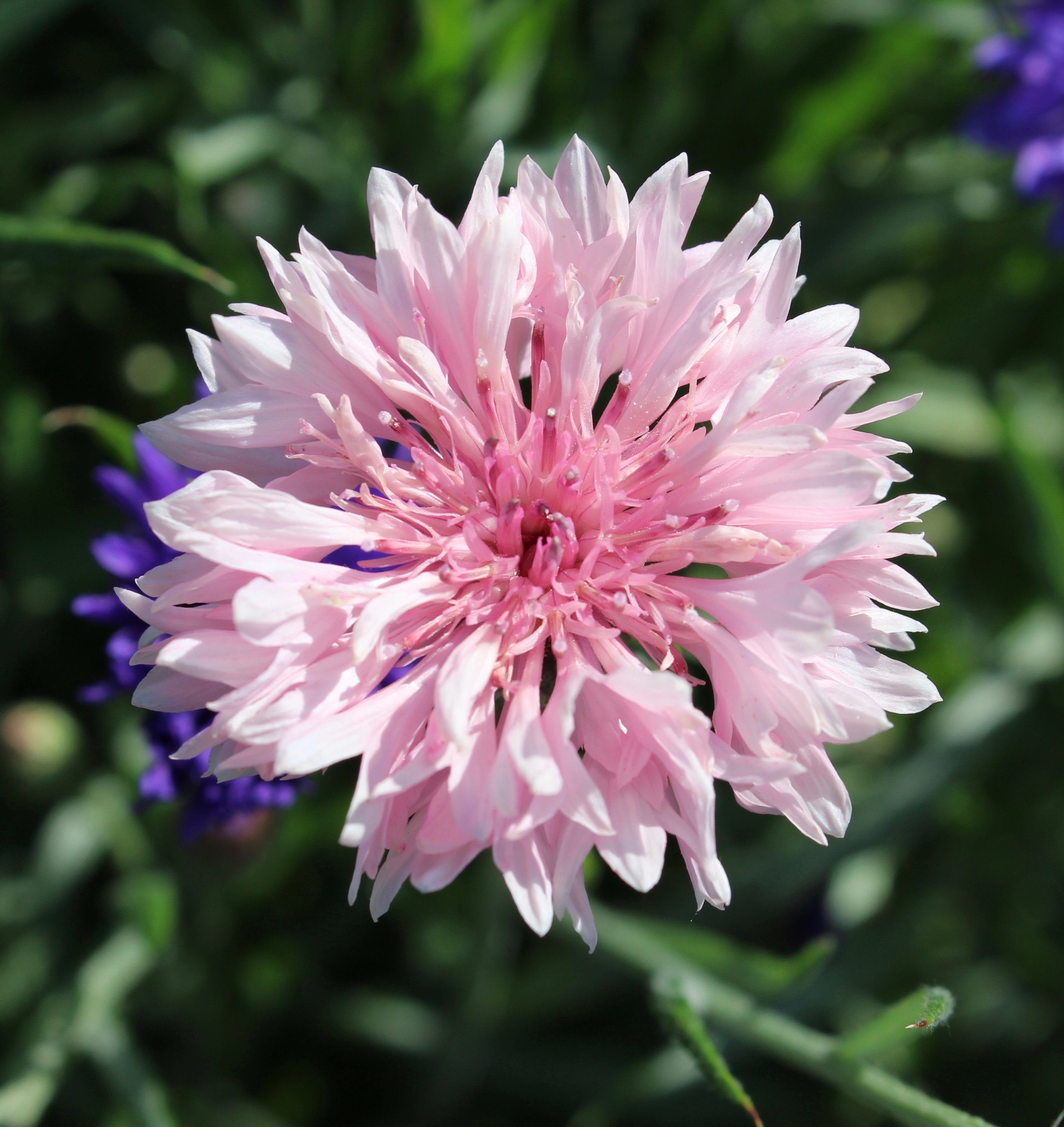 REF:19 'centaurea cyanus'  bleuet (rose), pink cornflowers  flower petals can be scattered over salads, cakes. add a spicy tone to rice, pancakes or in summer drinks.