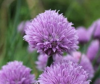 REF:5 'Allium schoenoprasum'  fleur de ciboulette, chive flowers  flowers and leaves are great Added to salads, egg and cheese dishes.great in a dressing over the winter period freeze small ice cubes of chives in olive oil.