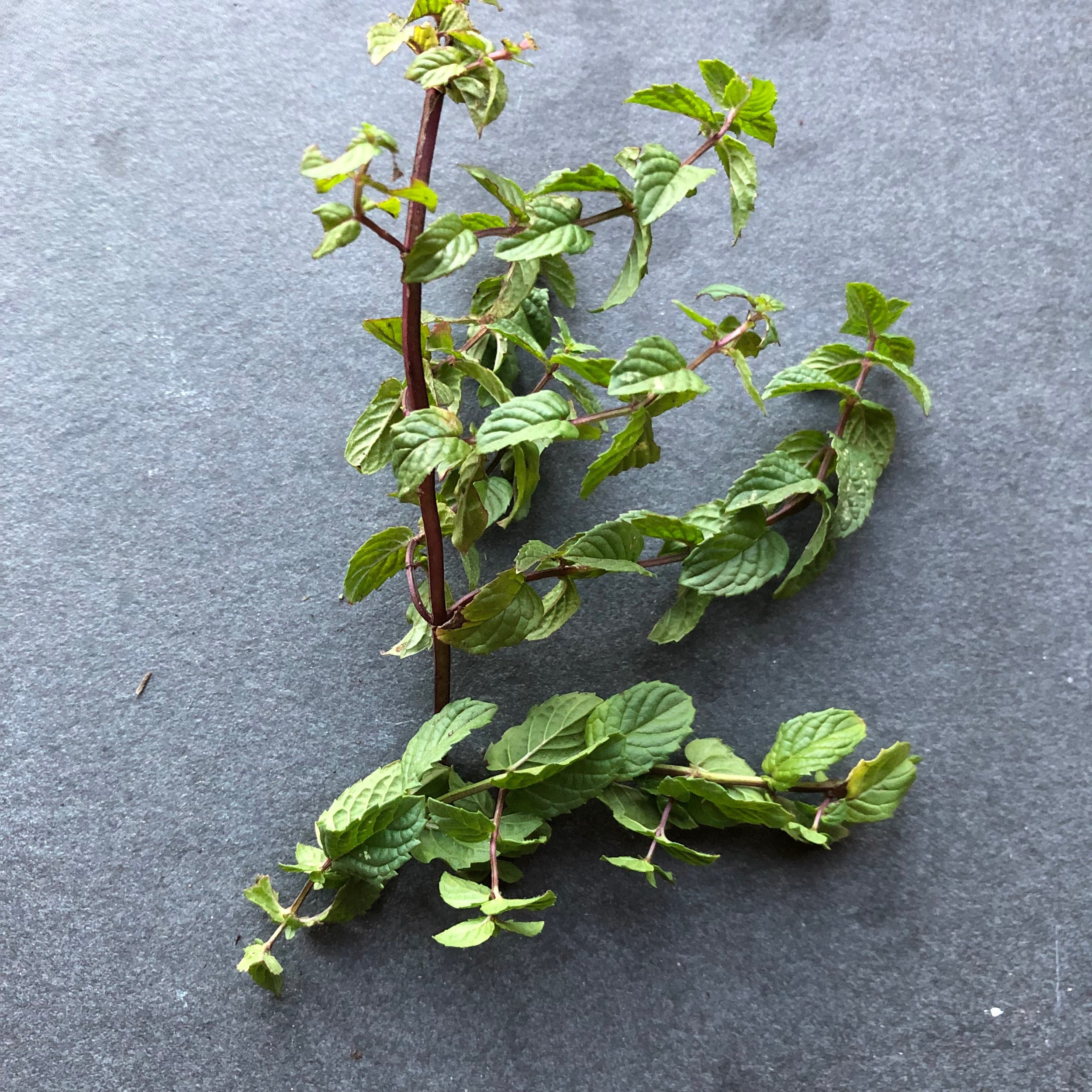 REF:62  'mentha.spp'  menthe, mint  flowers and leaves are edible. The leaves can be used to make a strong infusion of peppermint tea. Add torn leaves to strawberries, rice and couscous.