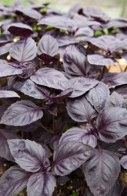 REF:68  'Ocimum basilicum purpureum'  Basilic classique rouge Basil dark red  use with marinades, pasta, tomatoes, salads, sauces, cocktails and infusions.