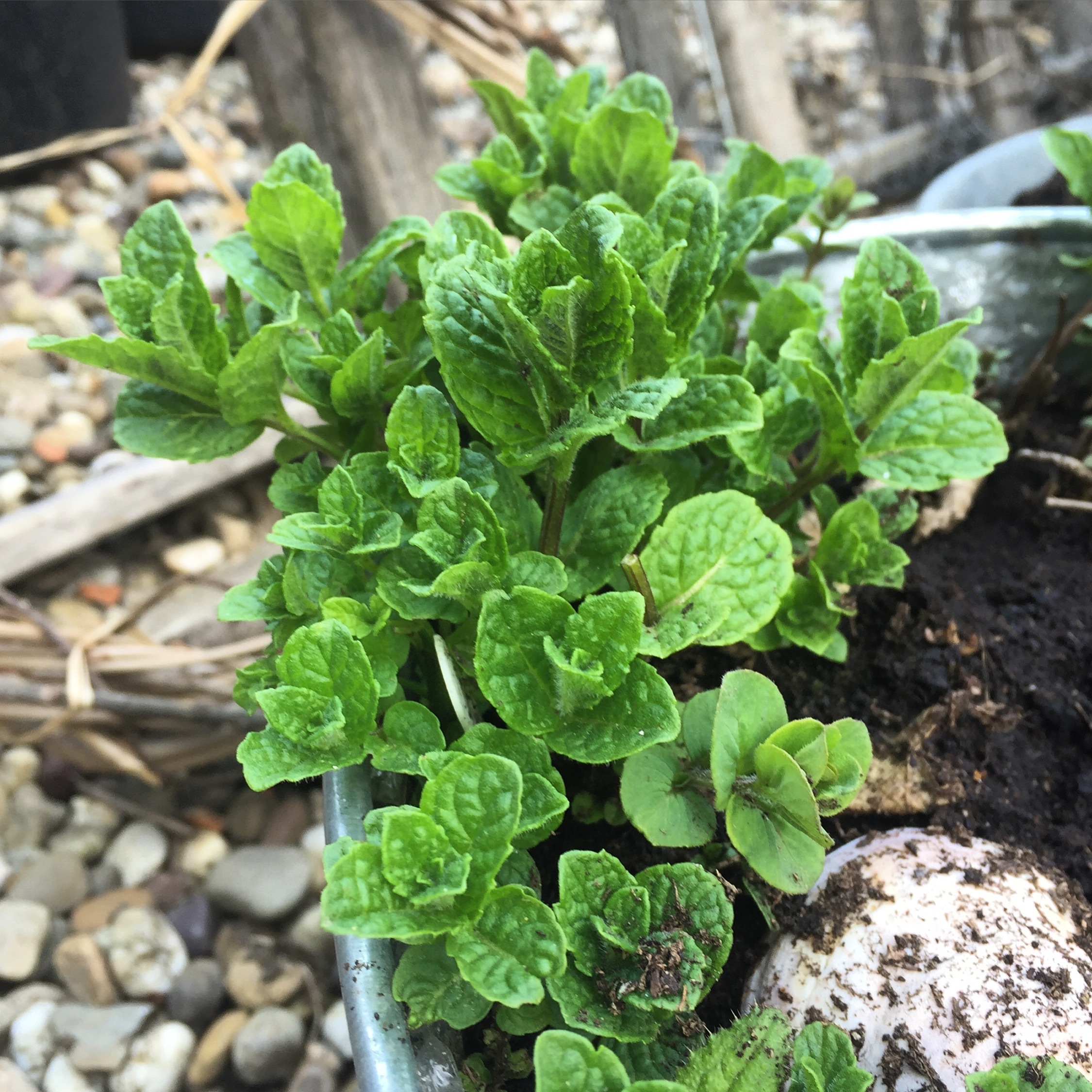 REF:62  'Mentha .spp'  Menthe, mint  The leaves can be used to make a strong infusion of peppermint tea. Add torn leaves to strawberries, rice, couscous & salads.