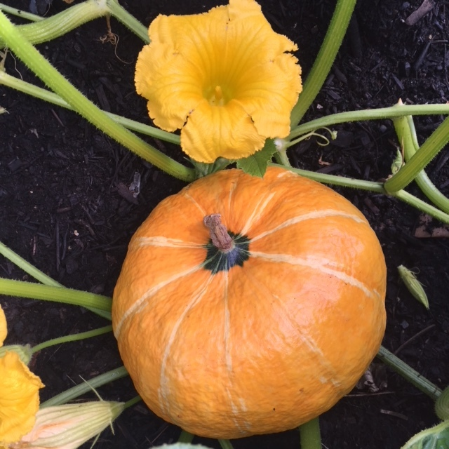 REF:28  Cucurbita pepo  citrouille (fleur), Squash blooms  Bake in the oven or deep fry with mixed herbs from botanika!