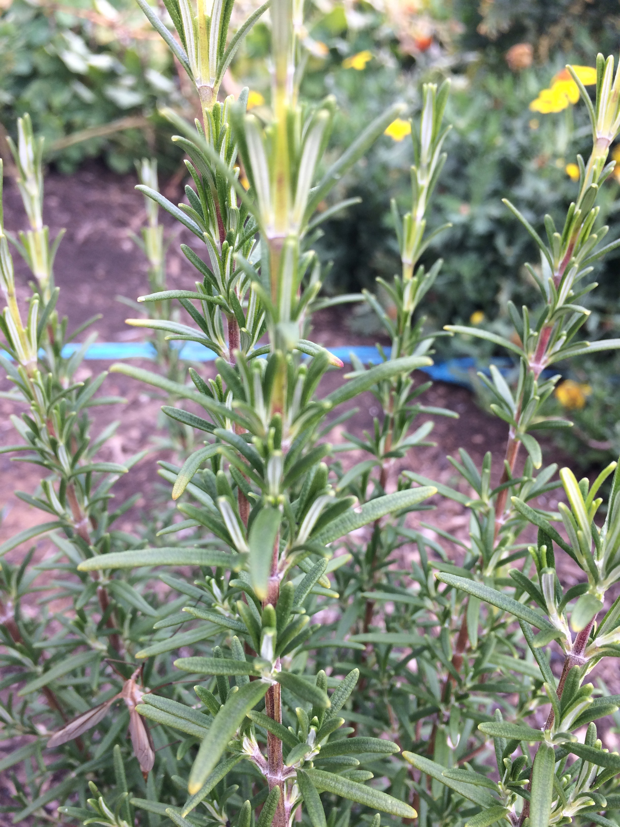 REF:94  'Rosamarinus officinalis'  Romarin, rosemary  excellent to flavour salt. use leaves and stalks in roasts.