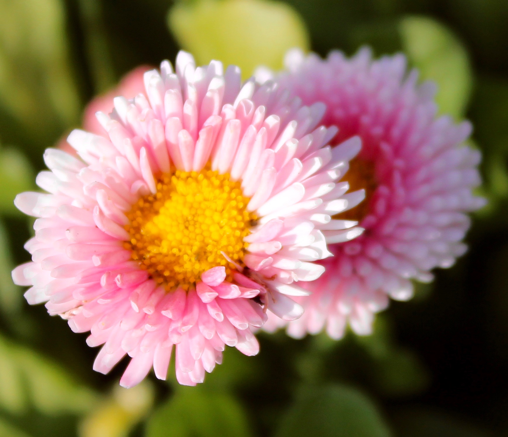 REF:9 'asteraceae'  Marguerite, bellis perennis  The young leaves and flowers can be tossed into a salad.beautiful on cakes.