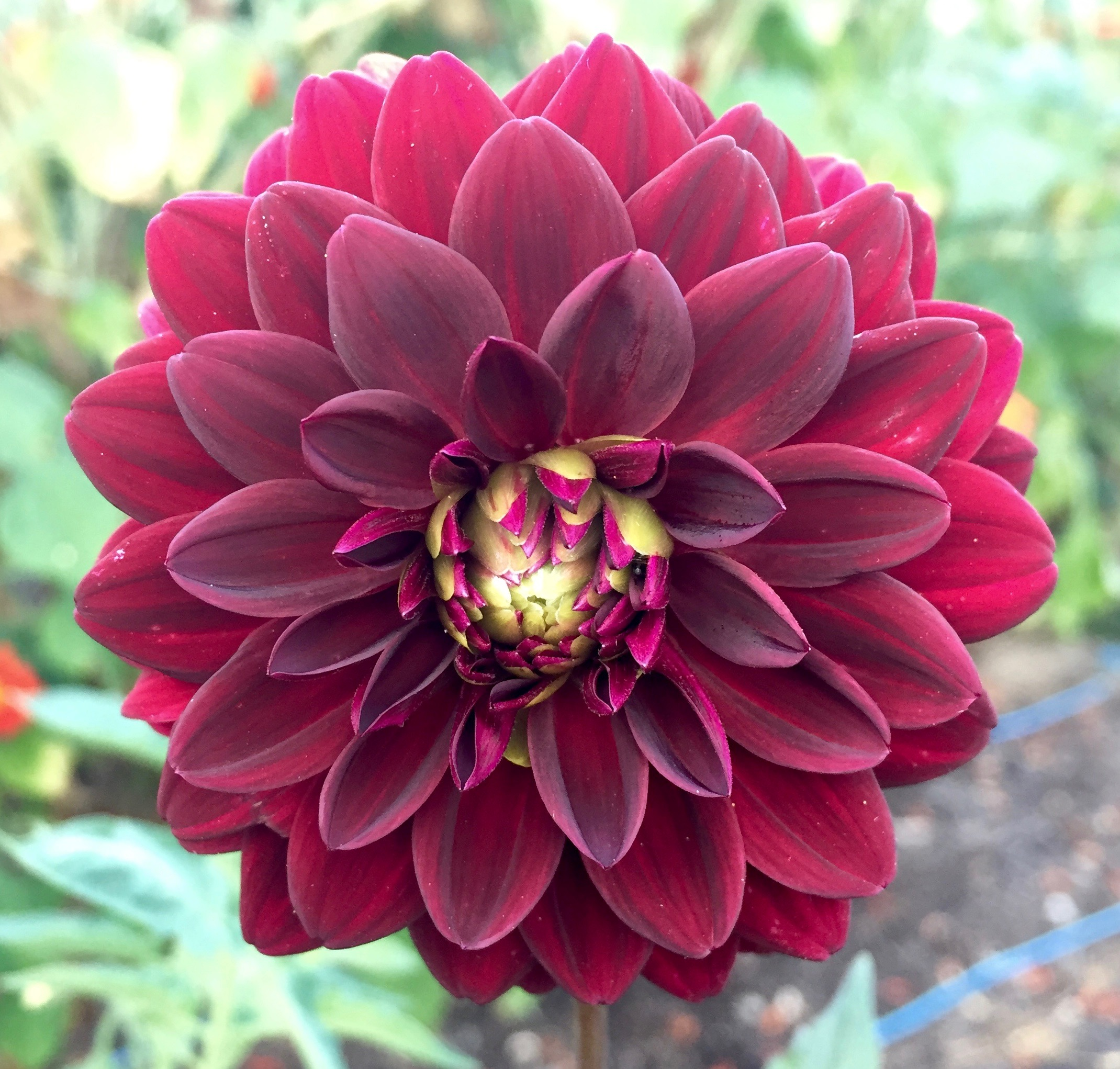 REF:30   dahlia  botanika will have a colourful array of dahlias in 2019.please ask  kate  if you want to see the full selection of colours so we can help you!
